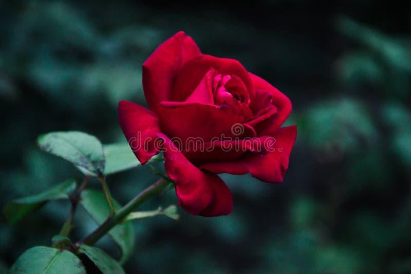 Röd ros i Kamenskoe Ukraina royaltyfria foton