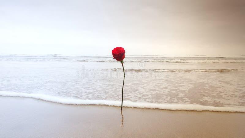Röd ros i sanden arkivfoto