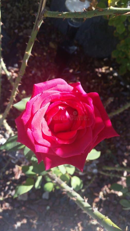 Röd ros i solljus royaltyfria bilder