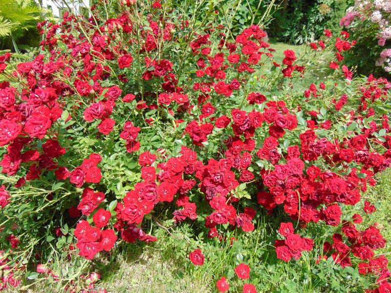 Röd ros i sommarträdgård royaltyfri foto