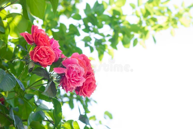 Röd ros mot en bakgrund av gräsplansidor och en vit backgr arkivbild