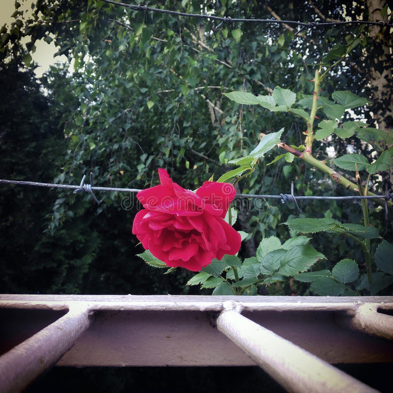 Röd ros och försett med en hulling - tråd arkivbild