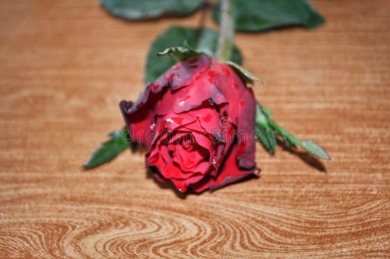 Röd ros på brunt arkivfoton
