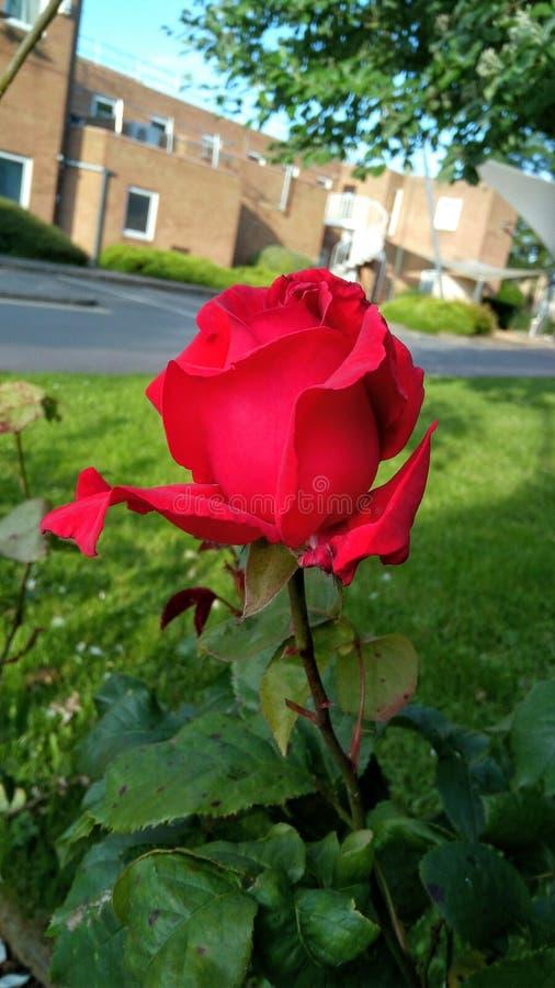 Röd ros på Cranfied, England royaltyfria bilder