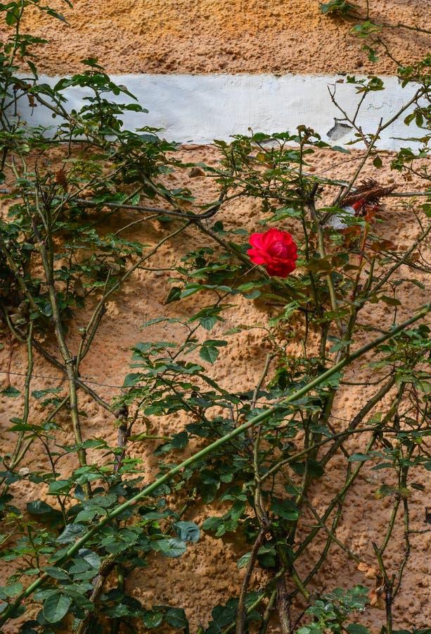 Röd ros på den gamla tegelstenväggen royaltyfri bild