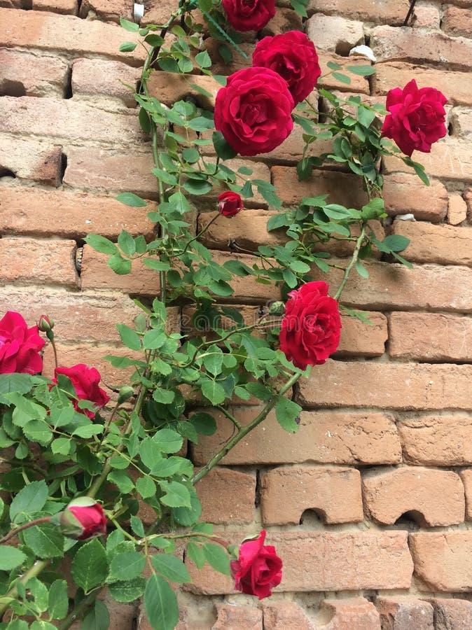 Röd ros på en gammal tegelstenvägg royaltyfria bilder