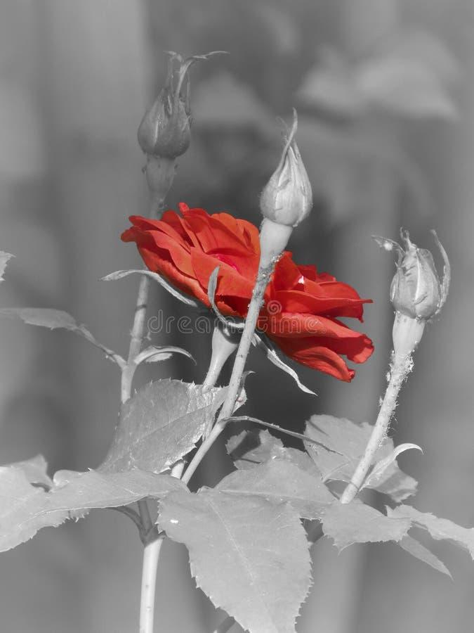 Röd ros på en svartvit bakgrund arkivfoton