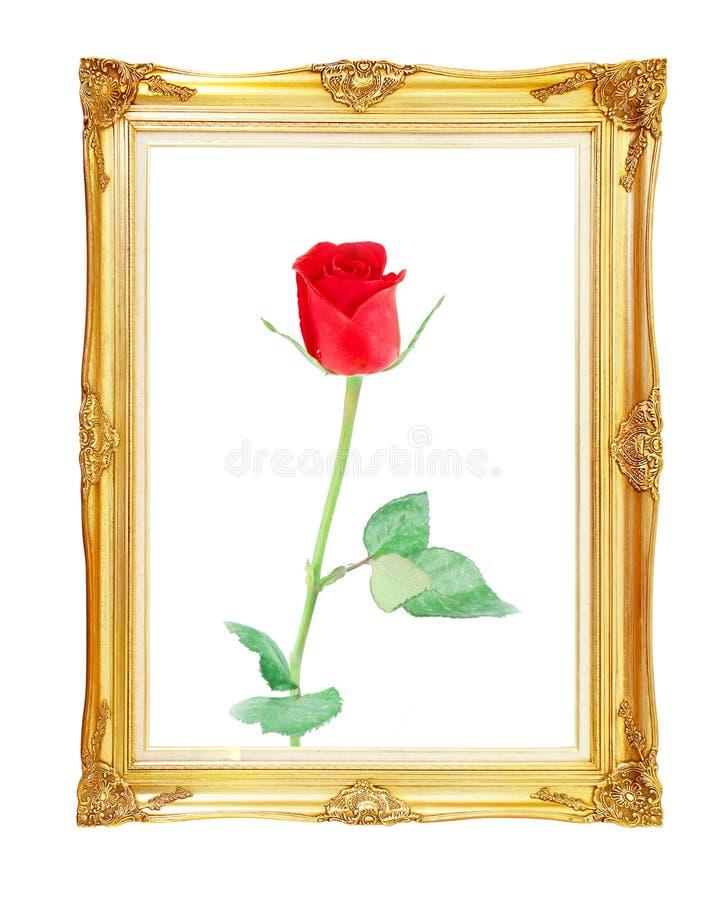 Röd ros på guld- ram med tomt för din bild, foto, im royaltyfri bild
