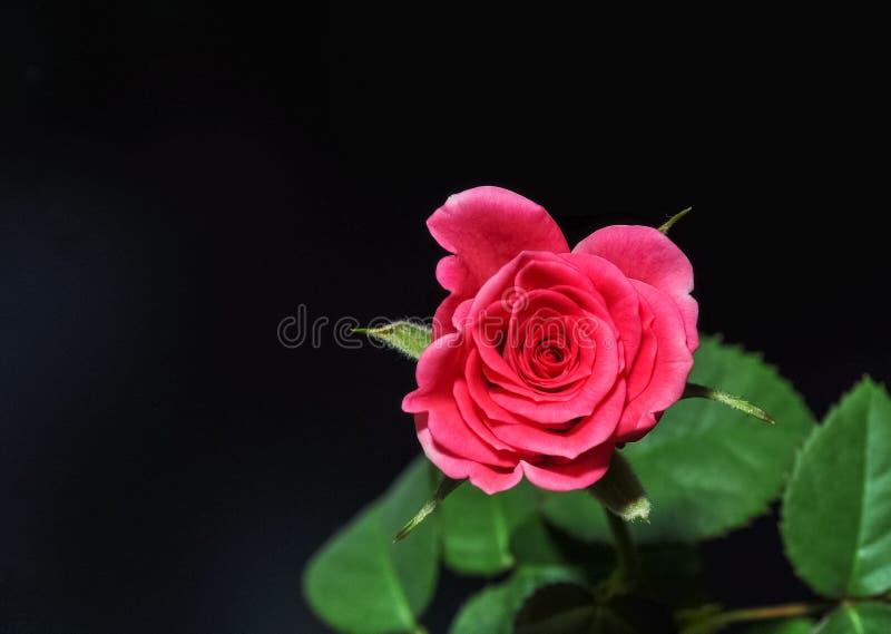 Röd ros på svart bakgrund, romantiker, passion som är härlig arkivfoto