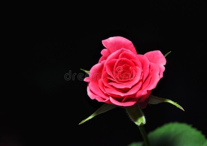Röd ros på svart bakgrund, romantiker, passion som är härlig royaltyfri bild
