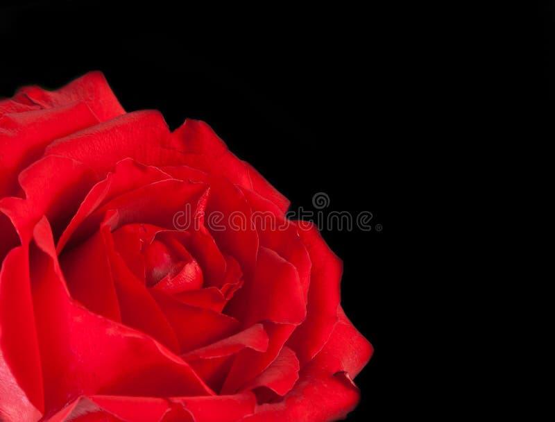 Röd ros på svart bakgrund, valentindag och förälskelsebegrepp royaltyfria foton