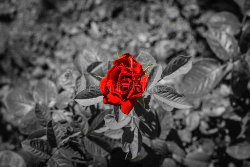 Röd ros på svartvit bakgrund arkivbild