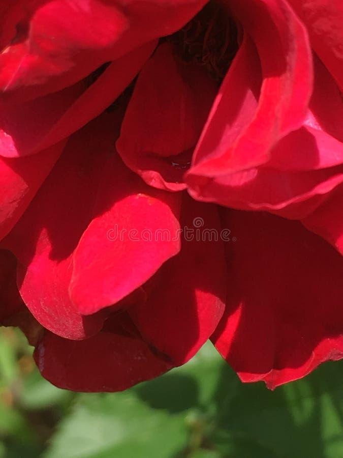 Röd röd ros som du ser så fin arkivfoto