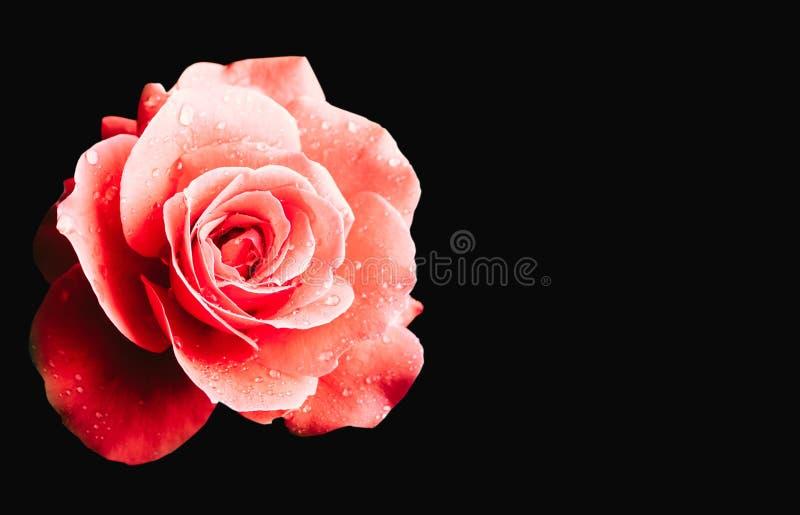 Röd rosa färgros efter regndetaljen med flera vattensmå droppar i en bakgrund för mörk svart arkivfoto