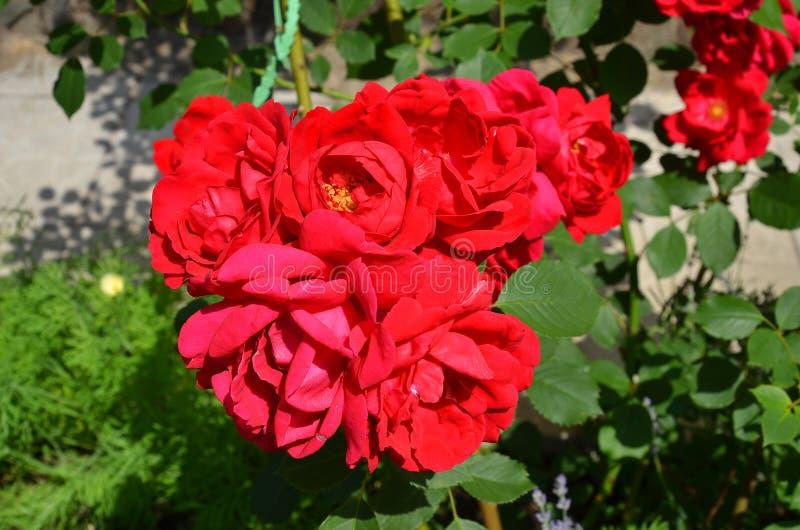 Röd Rosa odorata arkivbilder
