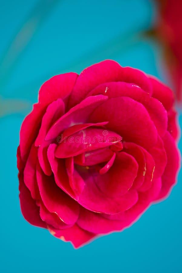 Röd rosblomma för makro arkivbilder