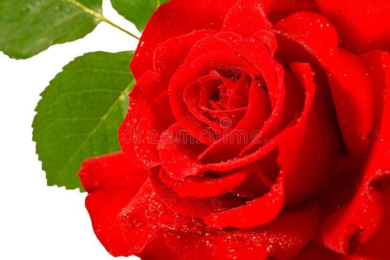 Röd rosblomma med vattendropp- och gräsplansidor över vit arkivbild
