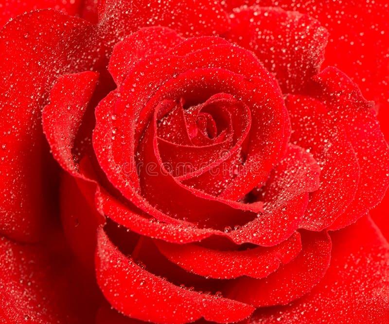 Röd rosblomma med vattendroppar Semestrar concep för hälsningskortet royaltyfri fotografi
