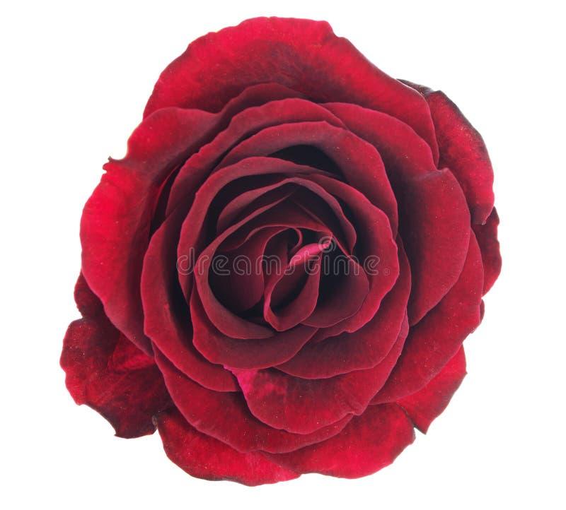 Röd rosblomma som isoleras på vit bakgrund med den snabba banan royaltyfria foton
