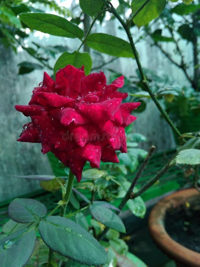 Röd rosträdgårdnatur royaltyfri bild