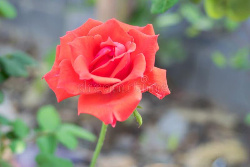 Röd rosväxt fotografering för bildbyråer