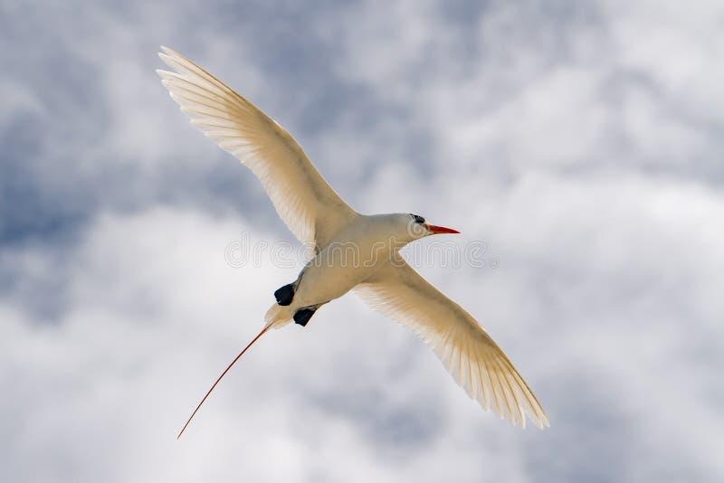 Röd rubricauda för Phaethon för svansvändkretsfågel, medan flyga royaltyfri bild