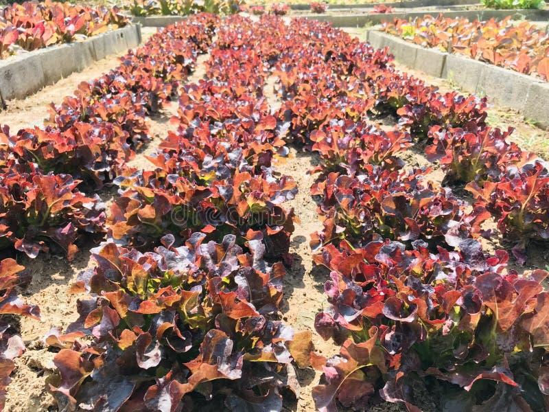 Röd sallad, planterad sallad, omvandlad till en raffinerad jord Långa rader ser vackra ut arkivbild