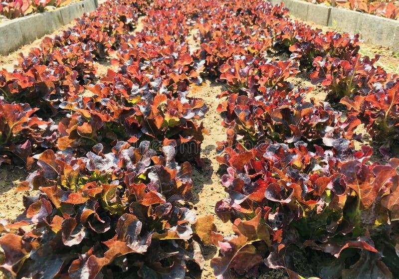 Röd sallad, planterad sallad, omvandlad till en raffinerad jord Långa rader ser vackra ut arkivbilder