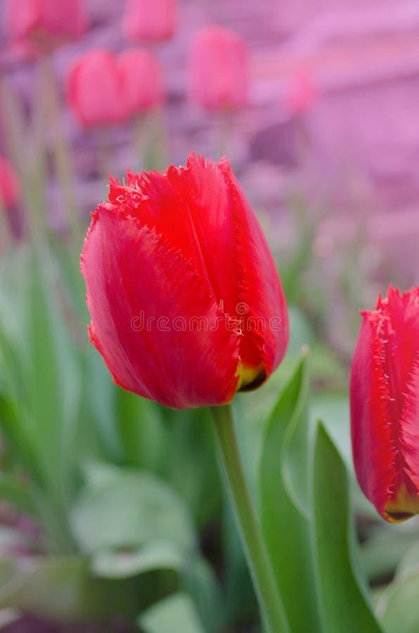 Röd satt fransar på tulpan Leon för frotté arkivfoton