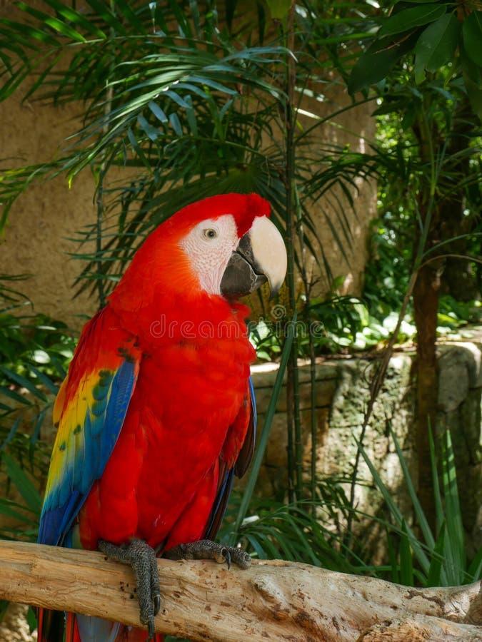 Röd scharlakansröd arafågel i Mexico royaltyfri fotografi