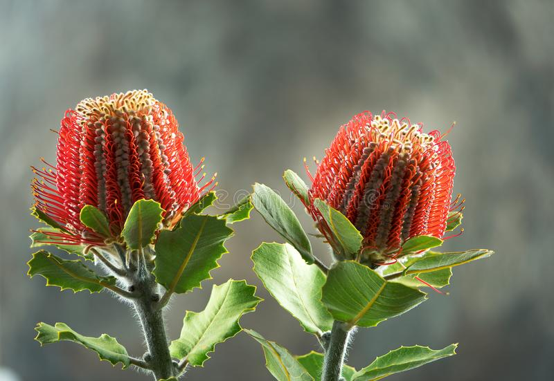 Röd scharlakansröd Banksia, den Australien infödingen blommar på suddighetsbakgrund arkivbild