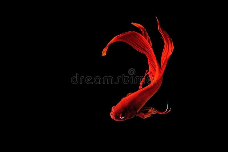 Röd Siamese stridighetfisk (Betta splendens) som isoleras på svart royaltyfri fotografi