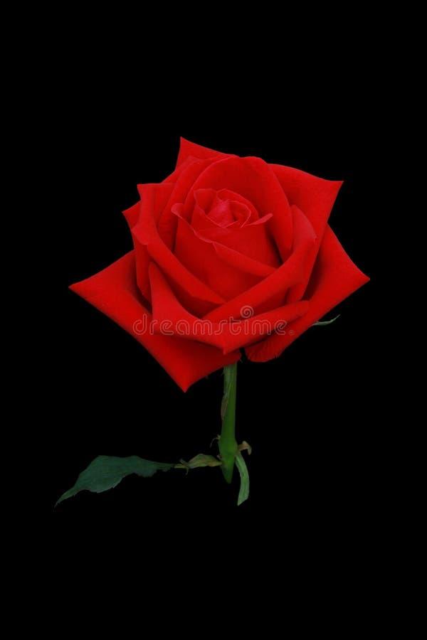 Röd sikt för rosblommasida som isoleras på den svarta skärmen arkivbild