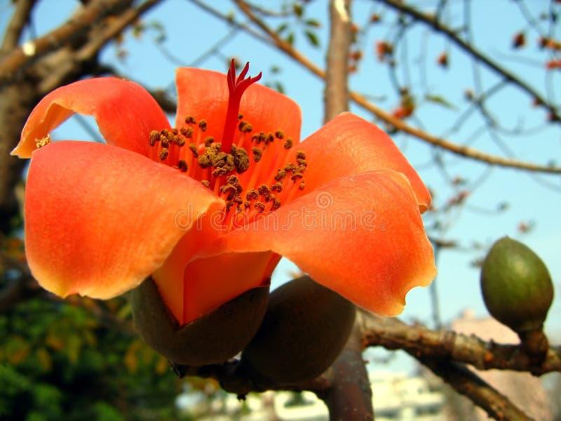 röd silk tree för bomullsblomma royaltyfria bilder