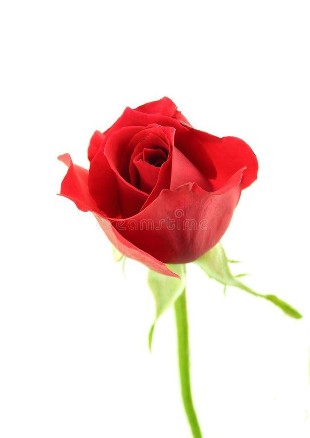Röd singelrosblomma i vit bakgrund royaltyfria foton