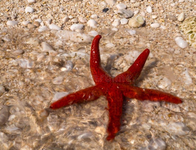 Röd sjöstjärna på stranden på ön av Kefalonia i det Ionian havet i Grekland royaltyfri foto