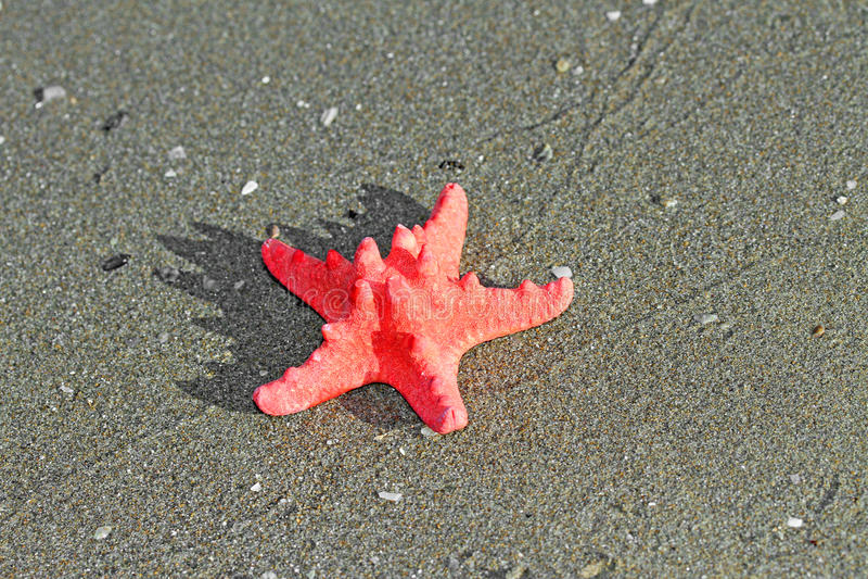 Röd sjöstjärna som ligger på den tropiska havsstranden royaltyfria foton