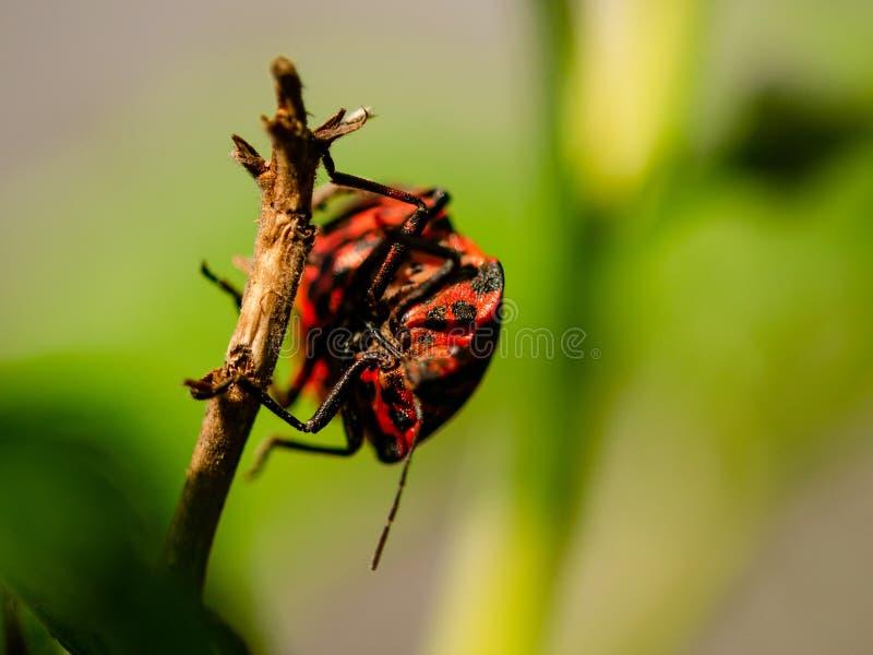 Röd skalbagge som hänger på en gren arkivfoto