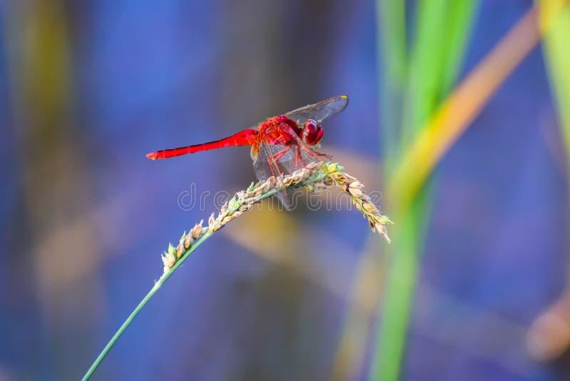 Röd slända på gräset, suddig bakgrund arkivbilder