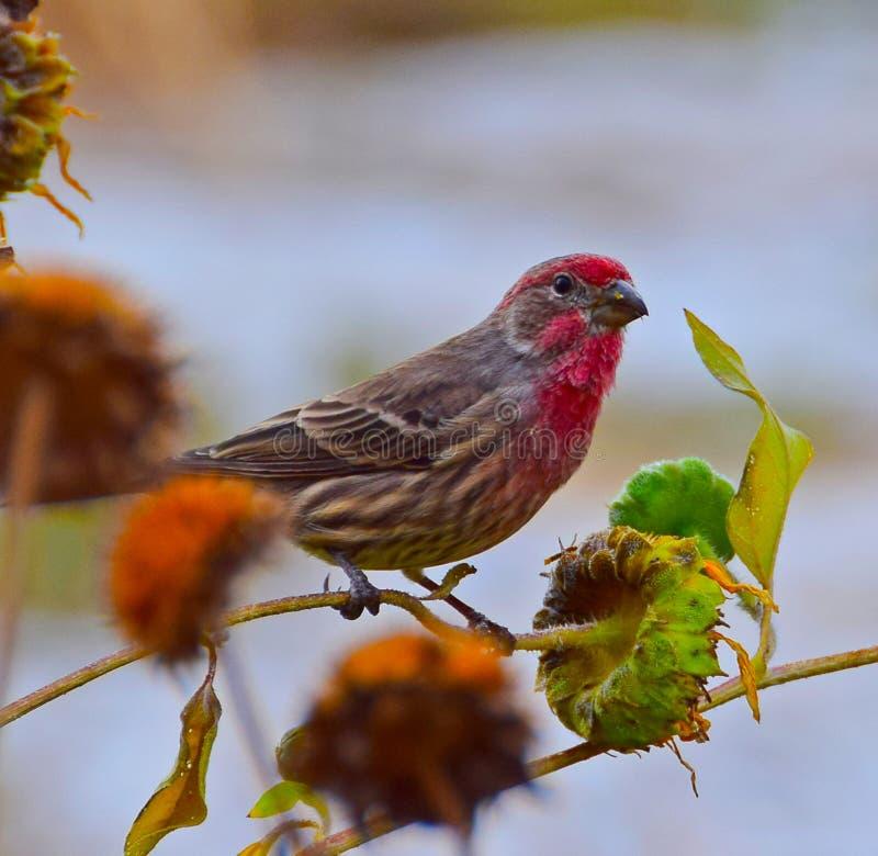 Röd Sparrow royaltyfria foton