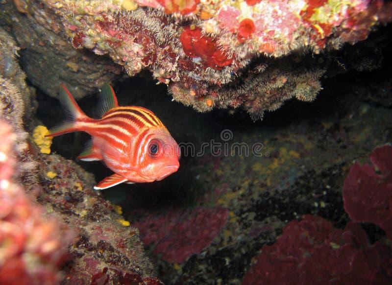 röd squirrelfish royaltyfri bild