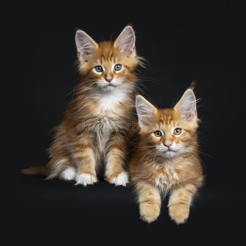 Röd strimmig katt två med vita Maine Coon katter royaltyfri foto