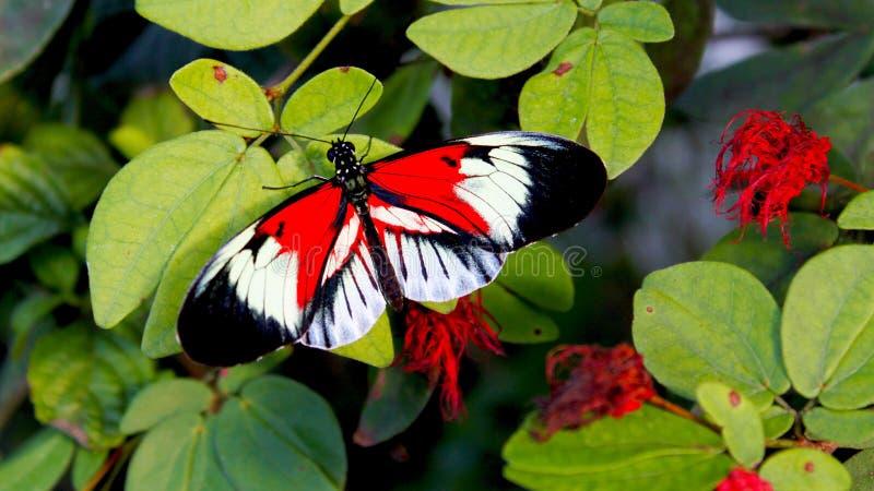 Röd svart vit fjäril som sätta sig på en bladfrunch royaltyfri bild