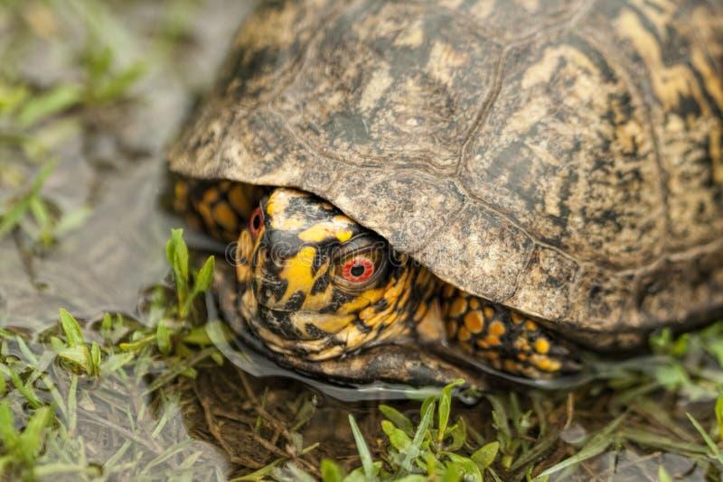 Röd synad Closup- för Alabama asksköldpadda Terrapene carolina arkivfoto