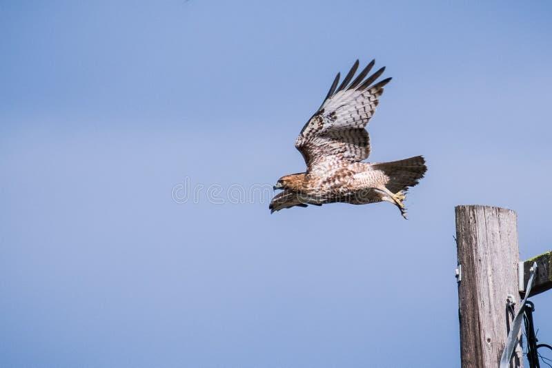 Röd-tailed Hawk Buteo jamaicensis som tar flyg från en trästolpe royaltyfri fotografi