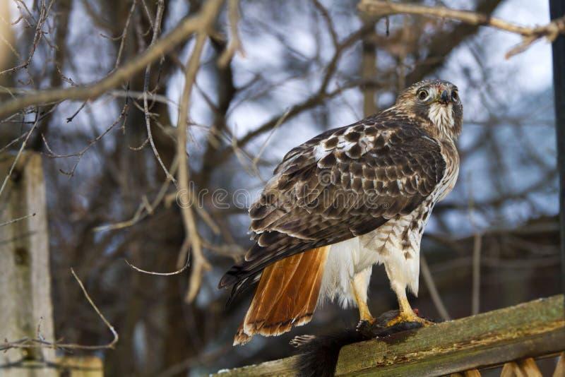Röd-Tailed Hawk Eating en ekorre arkivfoto