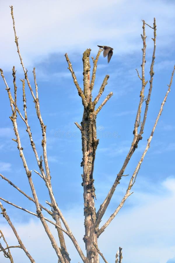 Röd-tailed Hawk Taking Flight royaltyfri foto