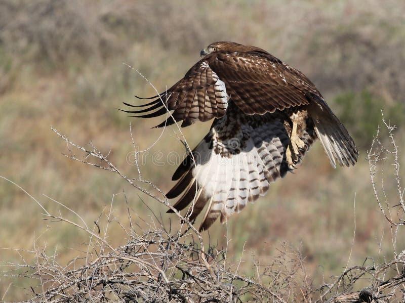 Röd-tailed Hawk Taking Flight fotografering för bildbyråer