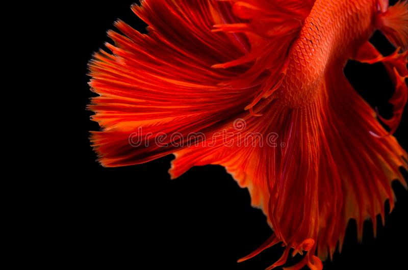 Röd textur för stridighetfisksvans som isoleras på svart bakgrund royaltyfria bilder