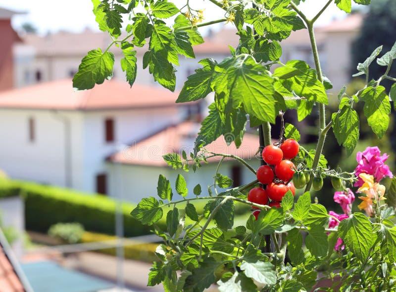 Röd tomatväxt i balkongen royaltyfri fotografi